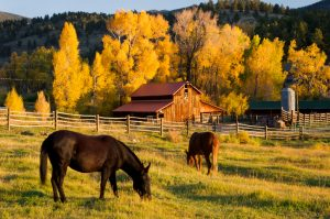 Horses grazing in front of barn